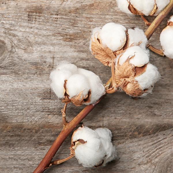 zummy pianta cotone organico
