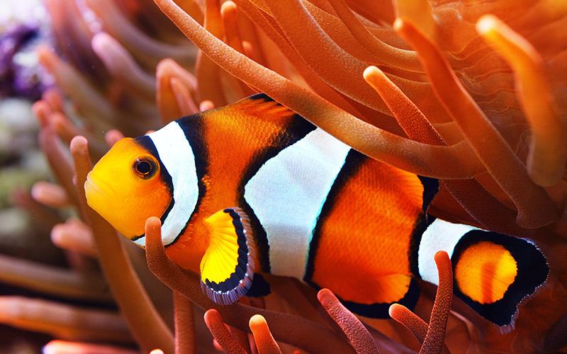 pesce nell'anemone di Zummy