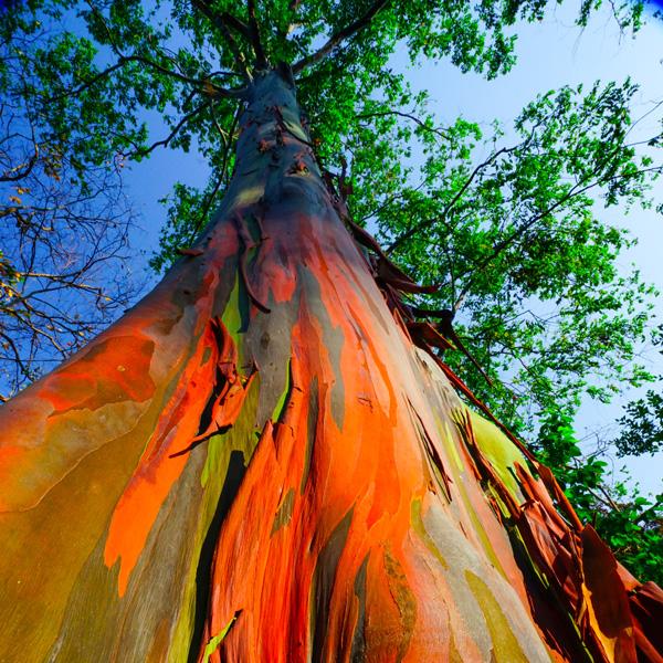 zummy albero eucalipto